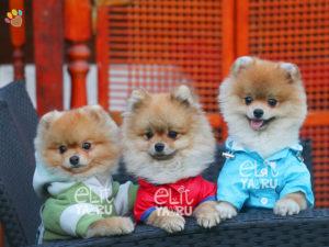 Boo >> Turkiye Nin En Guzel Pomeranian Boo Lari Pomeranian Boo